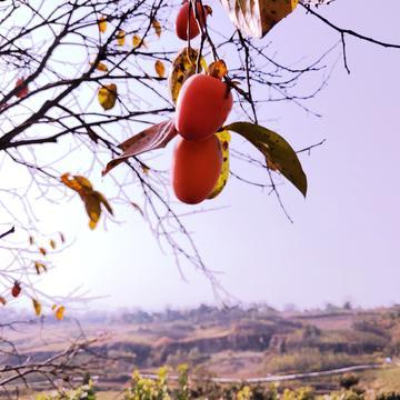 【X23样片】柿子红了