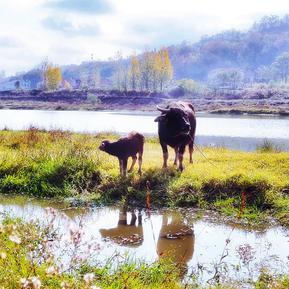 河畔的耕牛
