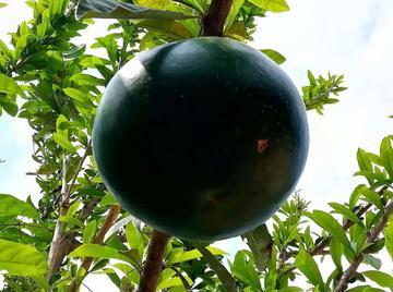 你吃过了么  树西瓜