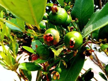 这个是巴西樱桃