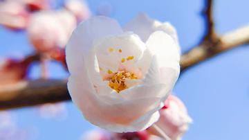 【寻春】樱花时节