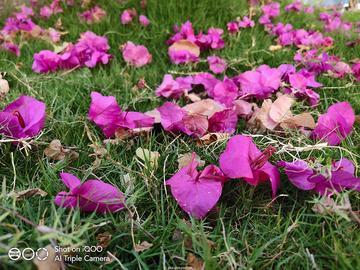 用IQOO手机告诉你,花朵啥时候最美
