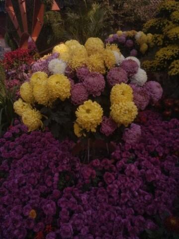 #S7e超级夜景# 一起看菊花